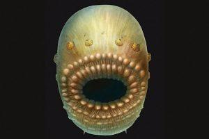 Ankstyviausias žmonių protėvis buvo maišo pavidalo gyvis be išeinamosios angos