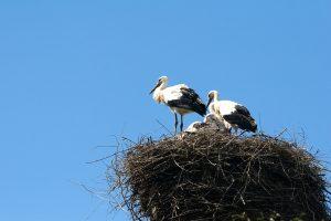 Ar gelbėti iš lizdo iškritusį paukštį?