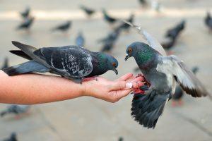Ar paukščius tikrai galima lesinti batonu?