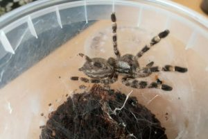 Už neteisėtą prekybą vorais Garliavoje teks mokėti baudą