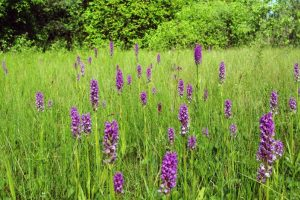 Kviečia gelbėti lietuviškas orchidėjas