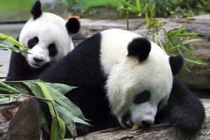 Taivano zoologijos sodas: Kinijos dovanotos pandos gyvos