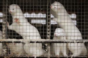 Nauju Lenkijos įstatymu siekiama uždrausti kailių ūkius