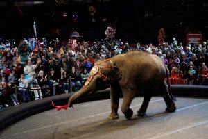 Cirkuose gali nelikti laukinių gyvūnų