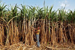 Kokia yra tikroji cukranendrių cukraus kaina?