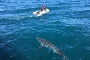 Australijoje po poilsiautojų sužalojimo sunaikinti keturi rykliai