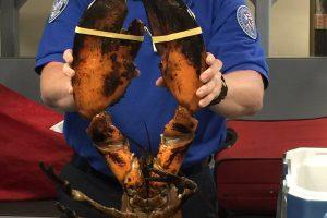 Bostono oro uoste bagaže rastas gyvas devynių kilogramų omaras