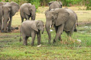 Penki laukiniai drambliai mirtinai sutrypė tailandietį