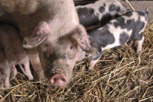 Kodėl reikia apsiginti nuo afrikinio kiaulių maro?