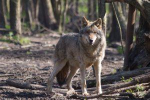 Šį sezoną bus leista sumedžioti 60 vilkų