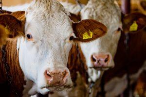 Į trečiąsias šalis eksportuojami lietuviški gyvuliai patiria žiaurias kančias