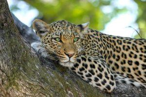 Indijoje leopardai sudraskė mažiausiai tris vaikus