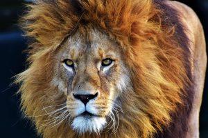JAV iš aptvaro ištrūkęs liūtas sudraskė jauną darbuotoją