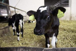 """Po VMI """"švelnių priemonių"""" gyvulių augintojai sumoka daugiau mokesčių"""