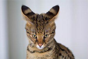 Katės, kurios laisvėje galėtų pakeisti ekosistemą