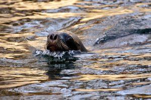 San Francisko įlankoje jūrų liūtas užpuolė jau ketvirtą plaukiką