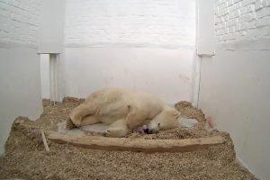 Berlyno zoologijos sodas neteko dar vieno baltojo lokio jauniklio