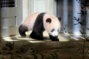 """Pandos jauniklis Tokijo zoologijos sode turės """"dirbti"""" ilgiau"""