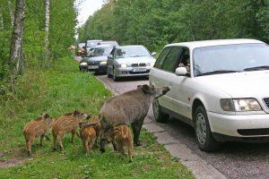 Kiaulių maras pasiekė ir Biržų rajoną