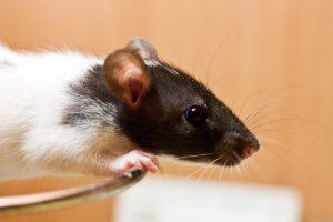 Vilniaus darželį užpuolė žiurkės