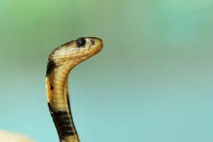 JAV: Teksaso gyventojui įgėlė nukirsta gyvatės galva