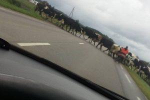 Vairuotoją sustabdė karvių banda