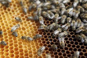 Pirmasis medsukis nenuvylė: aviliai – pilni medaus
