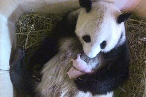 Vienos zoologijos sodo džiaugsmas – du didžiosios pandos jaunikliai