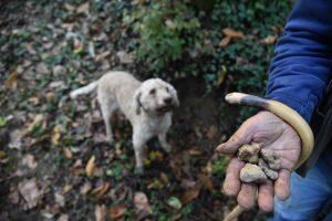"""Dėl ypatingų grybų pamišę italai miškus """"šukuoja"""" su šunimis"""