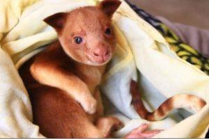 Našlaitį kengūriuką į sterblę priglaudė kita kengūra