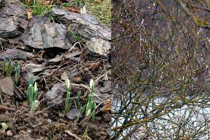 Gamtos išdaigos: teka sula, pražydo gėlės