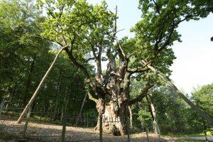 Europos medžio rinkimuose Stelmužės ąžuolas – tryliktas