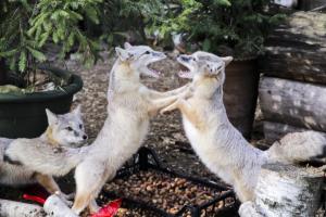 Lietuvos zoologijos sodo augintiniams surinkta beveik 13 tonų gilių