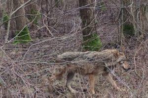 Pajūryje siaubą kelia į laisvę ištrūkę vilkai