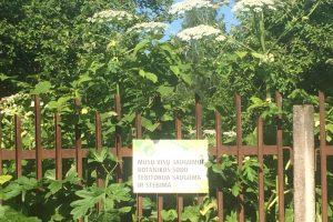 Akibrokštas: tarp botanikos sodo eksponatų – ir pavojingi Sosnovskio barščiai