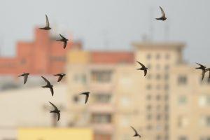 Kodėl miestuose nebeliko vietos paukščiams?