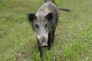 Per savaitę kiaulių maras nustatytas 18 šernų