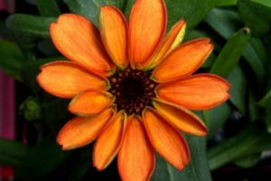Kosmose išauginta pirmoji gėlė