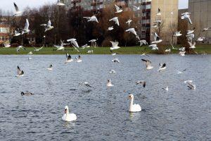 Paukščių gripo pavojus sumažėjo