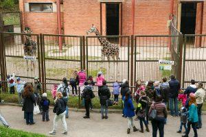 Kauniečiai atsisveikino su žirafomis