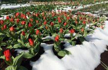 Šalnos apkandžiojo Kauno botanikos sodo grožybes
