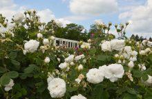 Botanikos sode pražydo istorinės rožės