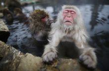 Japonijoje naikinamos susikryžminusios beždžionės
