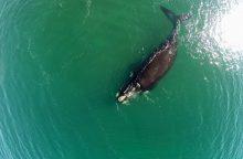 Banginių medžiotojų pergalė: Atlanto banginių draustinio nebus