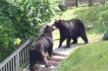 Danijos zoologijos sodas užmigdė du sveikus ruduosius lokius