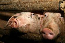 Dėl kiaulių maro protrūkio Anykščių rajone priverstinai skers kiaules