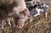 Kiaulių maras iš Lietuvos nesitraukia: plečiama ligos buferinė zona