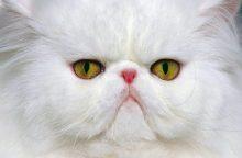 Persų katės – žmonių itin mėgstami ir privilegijuoti augintiniai