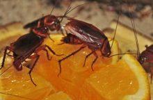 5 stebinantys faktai apie tarakonus