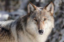 Kai kuriose Lietuvos vietose nutraukiama vilkų medžioklė